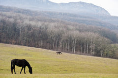 Horses on a pasture Stock Photography