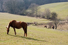 Horses on a pasture Royalty Free Stock Photos