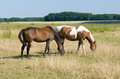 Horses in the pasture Stock Image
