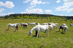 Horses on the pasture Stock Photo