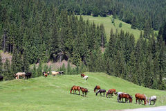 Horses on the pasture Royalty Free Stock Photos