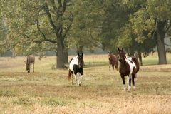 Horses in Pasture. Three horses and a donkey out in a pasture Stock Photos