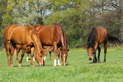 Horses in pasture. Group of horses in spring pasture Stock Photos