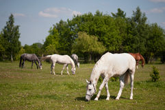 Horses in the pasture. Horses grazing in the pasture Stock Images