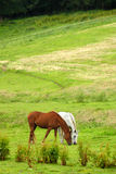 Horses on pasture royalty free stock image