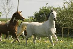 Horses on the pasture. Sometimes horses like this arabian pinto pleasure mix seem to fly over the meadow. With light steps they show their whole elegance Stock Photography