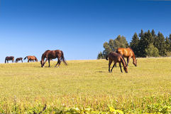 Horses on pasture Royalty Free Stock Photos