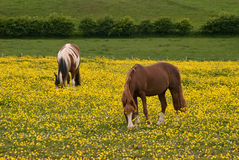 Horses in pasture Stock Photography