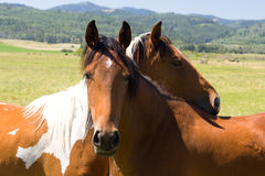 Horses on pasture. Two beautiful brown horses in a pasture stock images