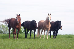 Horses in a pasture Royalty Free Stock Image