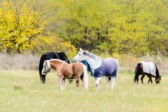 Horses on pasture Stock Images