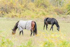 Horses on pasture Stock Image