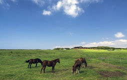 Horses on a pasture, Big Island, Hawaii Royalty Free Stock Photography