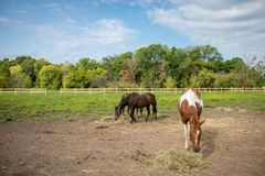 Horses in pasture with bright blue sky. Horses in the pasture on a farm in Wisconsin with a bright blue sky Royalty Free Stock Photos