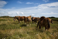 Horses on the Pasture Royalty Free Stock Photo