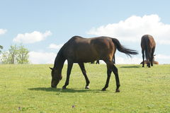 Horses on pasture,Czech republic Stock Photos