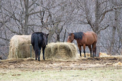 Horses in Pasture Eating Hay Bales Royalty Free Stock Image