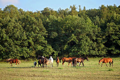 Horses on pasture Stock Photography