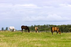 Horses on pasture. Four horses grazing on a pasture at summer day Royalty Free Stock Images