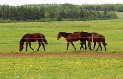 Horses In pasture Stock Images