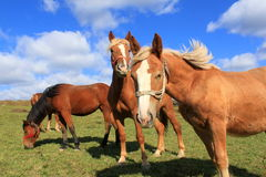 Horses at pasture. Four horses at pasture and sky with clouds Stock Photography