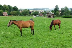 Horses at pasture Stock Images