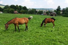 Horses at pasture Royalty Free Stock Image