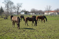 Horses at pasture Stock Photo