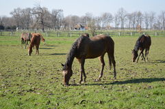 Horses at pasture Royalty Free Stock Photography