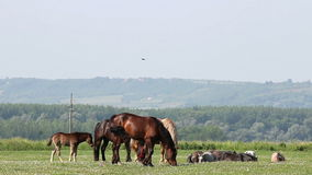 Horses on pasture stock footage