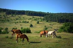 Horses pasture Stock Photos