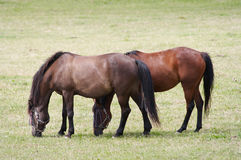 Horses on pasture Royalty Free Stock Photography