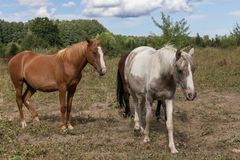 Horses on the pasture land royalty free stock photography