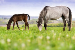 Horses on pasture. Mare with colt grazing on pasture royalty free stock photo