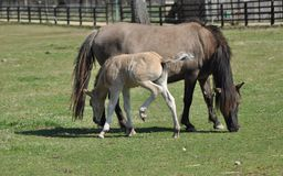 Horses on pasture. Mare with foal. Adolescence. Royalty Free Stock Images