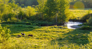 Horses in a pasture meadow near Greenwood, Nova Scotia Royalty Free Stock Image
