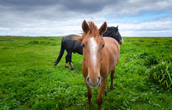 Horses in a pasture meadow.  Tan horse looking at camera. Royalty Free Stock Images