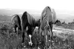 Horses pasture in mountain. b\w Stock Photos