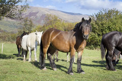 horses  on a pasture in the  mountain Royalty Free Stock Photo