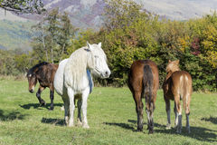 Horses  on a pasture in the  mountain Royalty Free Stock Photos