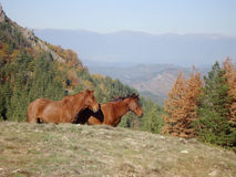 Horses  on a pasture in the  mountain Royalty Free Stock Photography
