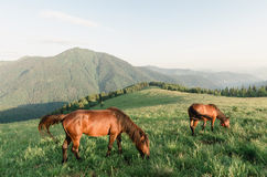 Horses on a pasture in the mountains Royalty Free Stock Photography
