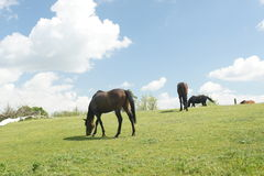 Horses on pasture near Lednice Stock Photography