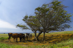 Horses, pasture, and ocean Royalty Free Stock Images