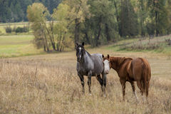 Horses in pasture. Horses are out in the pasture in north Idaho grazing on the grass Royalty Free Stock Photo