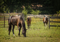 Horses in a Pasture Stock Images