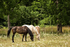 Horses in a Pasture Royalty Free Stock Photos