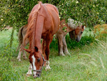Horses on pasture Stock Photos