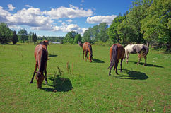 Horses in pasture. Rural landscape Royalty Free Stock Photo