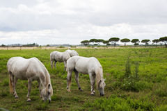 Horses on pasture. Some horses on the pasture at gray day Royalty Free Stock Images